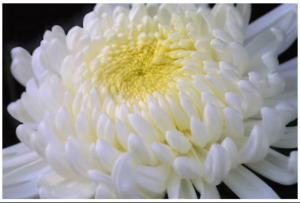 Chrysenthemum